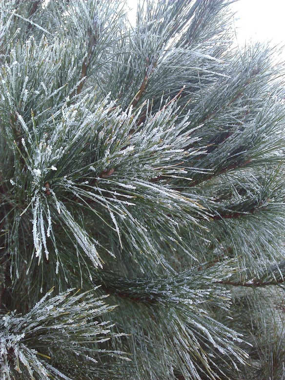Chilly pine